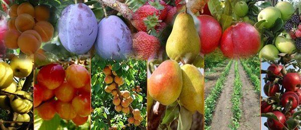 pomi-fructiferi